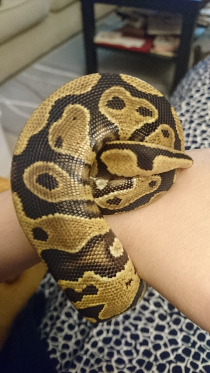 a ball python's backside as wrapped around a human wrist